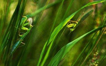трава, листья, насекомые, зеленые, богомол, богомолы