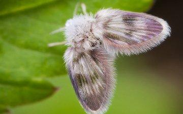 бабочка, пушистый, лист, мотылек, моль