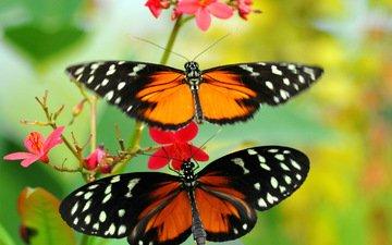 макро, цветок, насекомые, бабочки