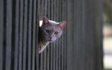 cat, look, the fence, red
