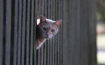 кот, кошка, взгляд, забор, рыжий