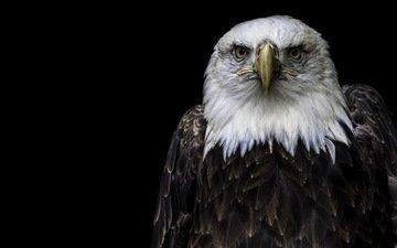 природа, орел, птицы, белоголовый орлан