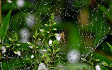 цветы, макро, роса, капли, насекомые, паук, паутина