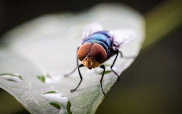 капли, лист, насекомые, муха