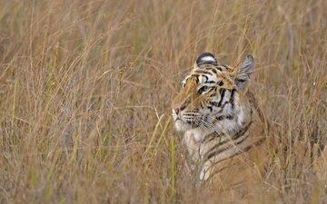 тигр, трава, хищник, охота, бенгальский