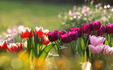 цветы, тюльпаны, разные