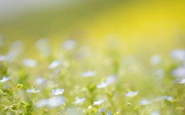 цветы, природа, лето, нежность, голубые, полевые