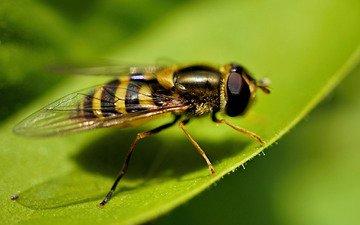 макро, лист, насекомые, муха, журчалка