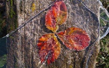 природа, листья, иней, лёд