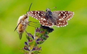 цветок, бабочка, насекомые, растение, муха