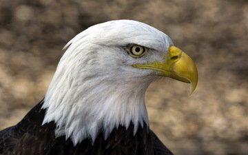 фон, орел, птицы, клюв, белоголовый орлан