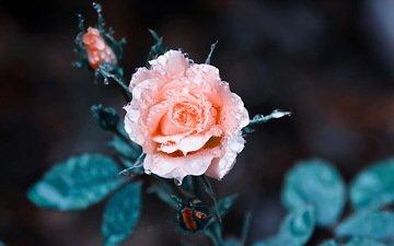 фон, цветок, роса, капли, роза, розовая