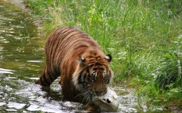 тигр, хищник, германия, зоопарк, augsburg