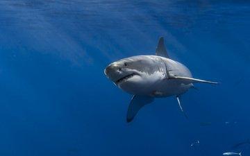 море, акула, подводный мир, белая акула
