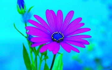 фон, цветок, лепестки, гербера