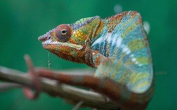 разноцветный, ящерица, хамелеон, хамелион