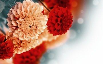 цветы, фон, георгины