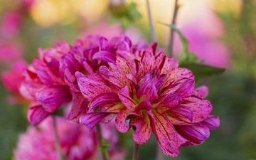 цветы, макро, георгины