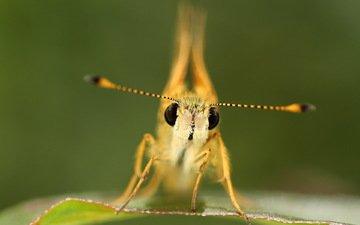 макро, бабочка, насекомые