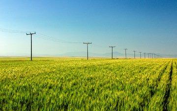 природа, поле, пшеница, урожай