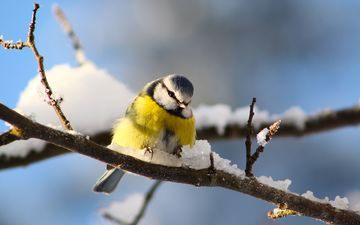 снег, ветки, птицы, синица