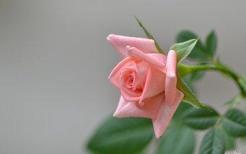 цветок, роза, бутон, розовая