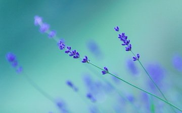 background, drops, flowers.lavender