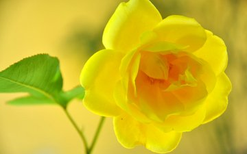 macro, flower, rose, yellow