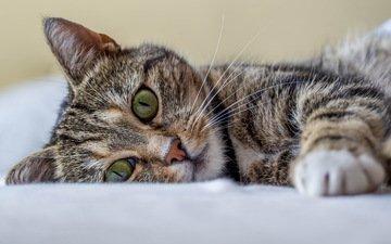 кот, кошка, лежит, полосатый