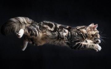 кошка, прыжок, пушистая
