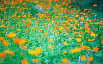 цветы, трава, природа, луг
