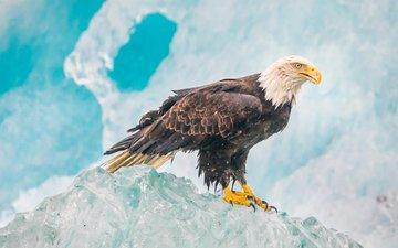 лёд, орел, птица, белоголовый орлан