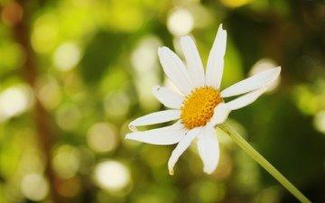 фон, цветок, ромашка