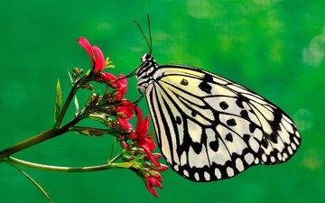 природа, насекомое, цветок, бабочка, насекомые, растение