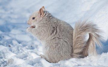 снег, зима, белка