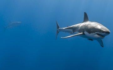 океан, глубина, подводный мир, акулы
