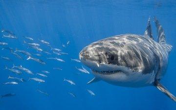 океан, акула, подводный мир