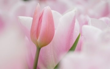 цветы, фокус камеры, тюльпаны, розовые, нежные