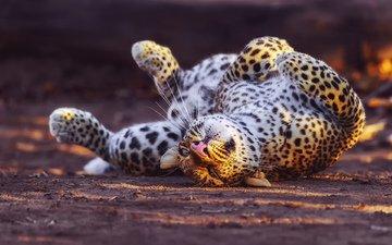 спит, леопард