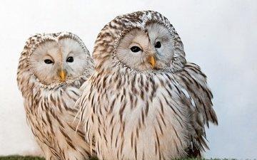 дикая, летают, couple,  сова, птаха, дерево
