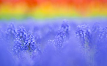 background, muscari