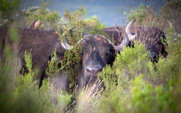 nature, buffalo