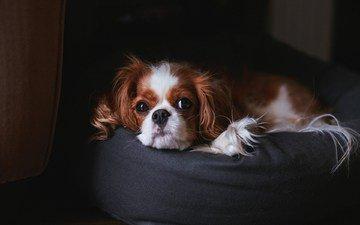 глаза, собака, пуфик, спаниель, кавалер кинг чарльз спаниель