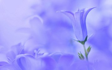 цветы, макро, колокольчики