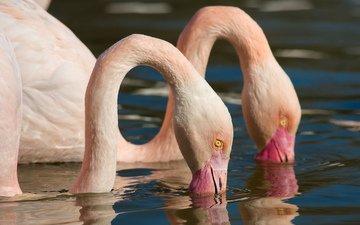 природа, фламинго, птицы