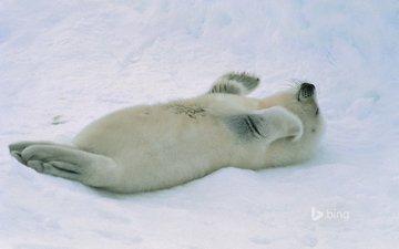 снег, тюлень, детеныш