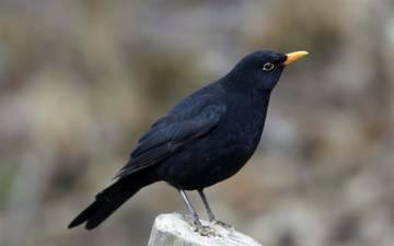 птица, пенек, черный дрозд