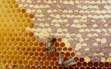 насекомые, соты, пчелы, мед
