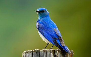 птица, синяя, пенек