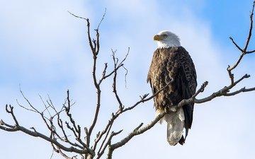 природа, хищник, птица, белоголовый орлан